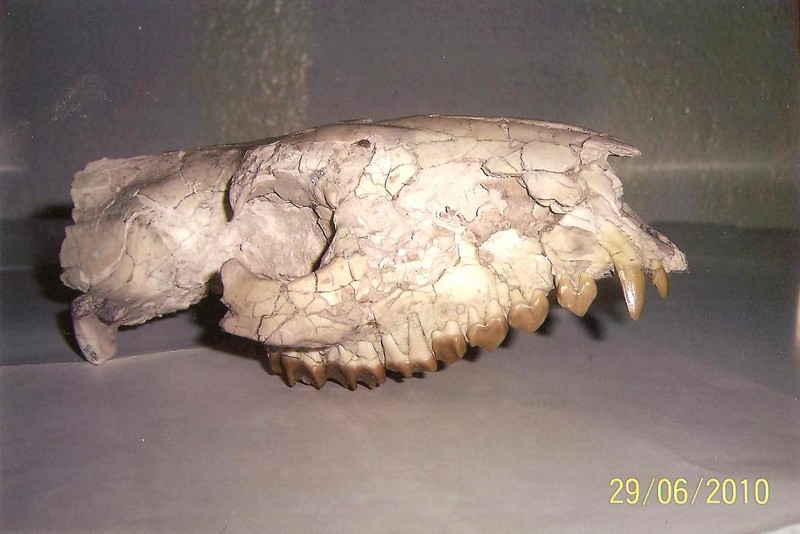 Oreodon USA 30 εκατ. ετών