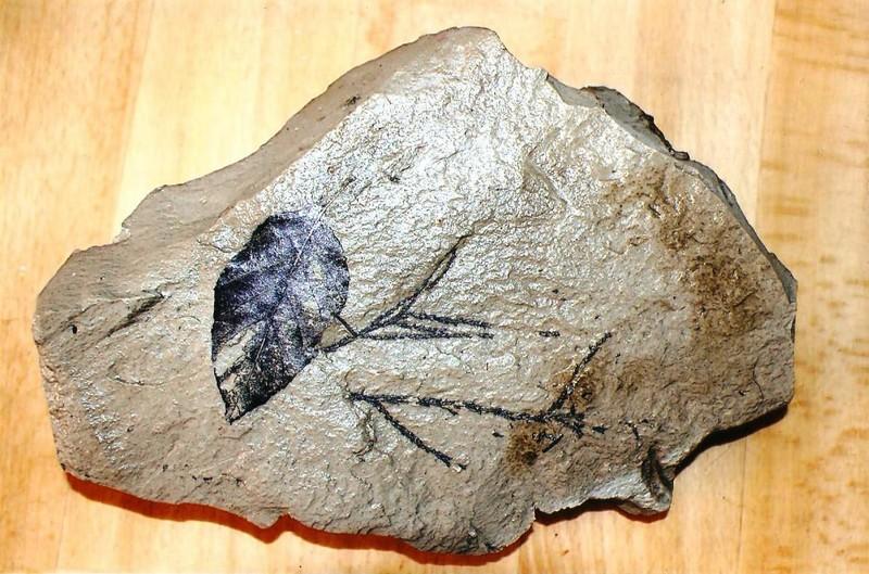 Φύλλο δέντρου Βεγόρα 5-10 εκατ. ετών