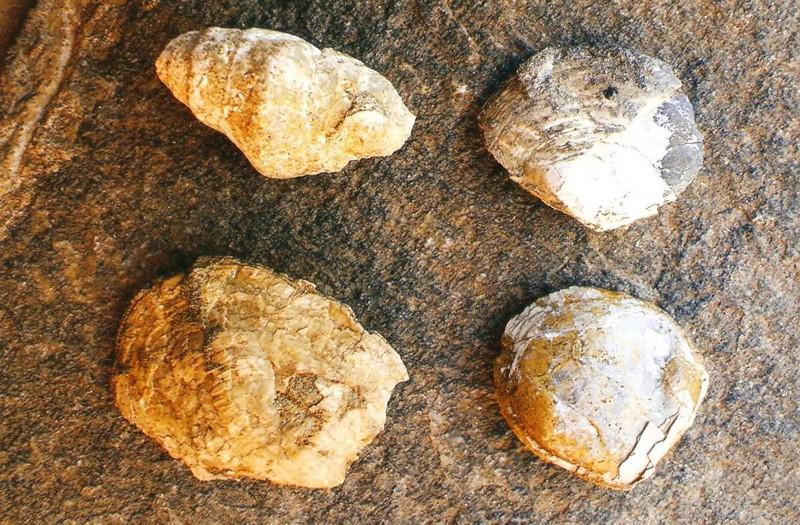 Κογχύλια Δότσικο Γρεβενά 25-30 εκατ. ετών
