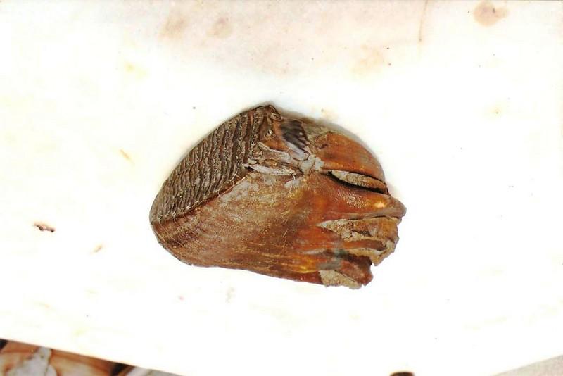 Δόντι mamuth Βόρεια Ρωσία